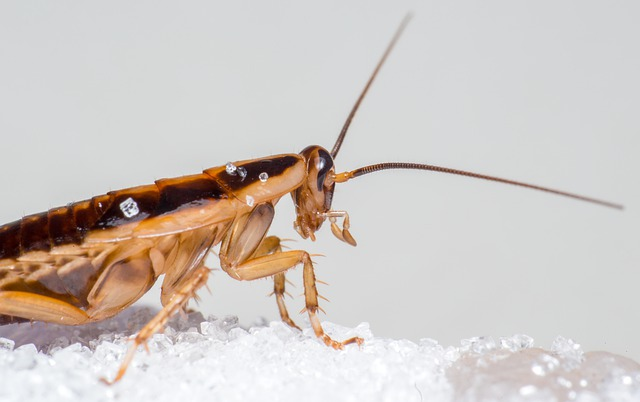 Get rid of roaches with borax