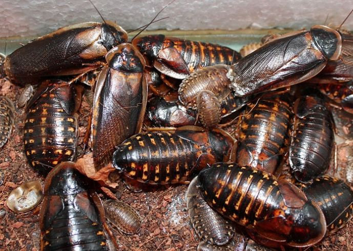 dubia roaches food habits