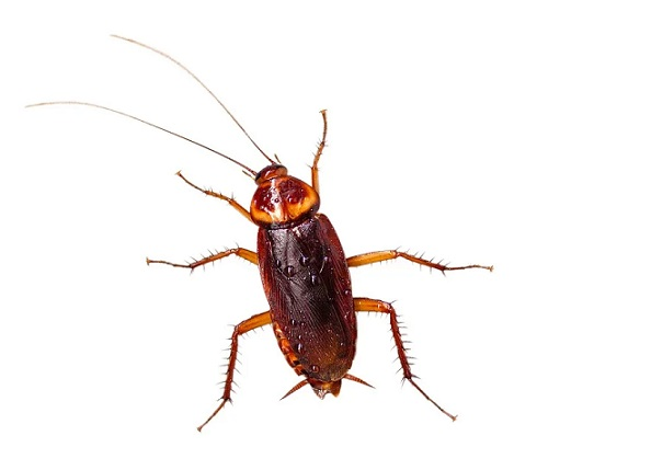 eliminate american cockroaches