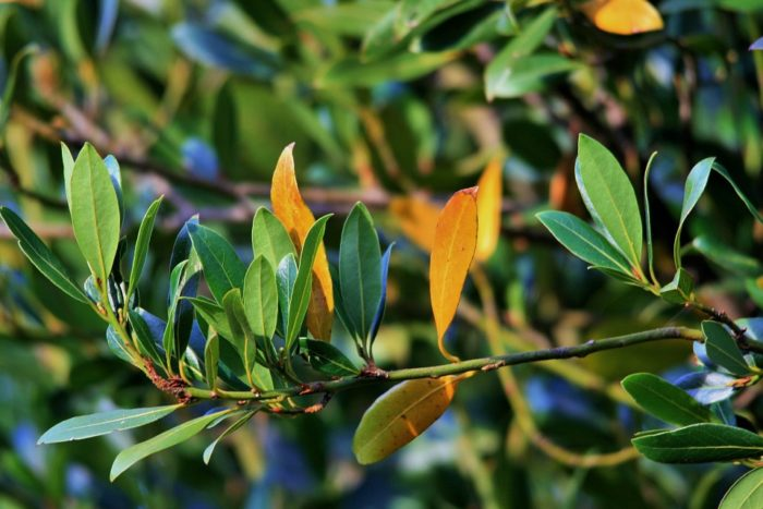 bay leaves for roaches